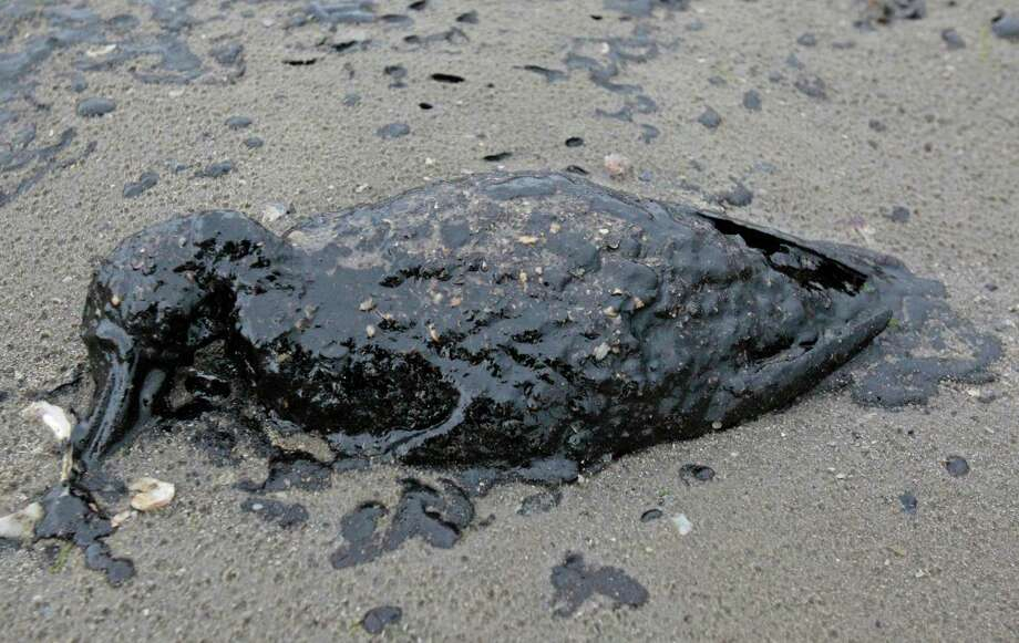 A dead oil covered bird is shown on the shore area along Boddeker Rd. on the Eastern end of Galveston near the ship channel Sunday, March 23, 2014, in Galveston. (AP Photo/Houston Chronicle, Melissa Phillip) Photo: Melissa Phillip, MBO / Houston Chronicle