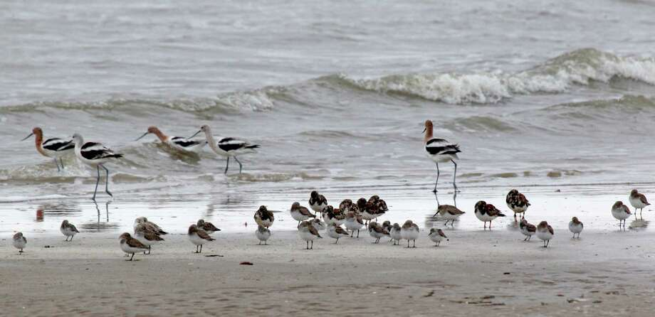 A variety of shorebirds are seen at the Bolivar Flats Shorebird Sanctuary Monday, March 24, 2014 in Bolivar. Photo: Melissa Phillip, Houston Chronicle / © 2014  Houston Chronicle