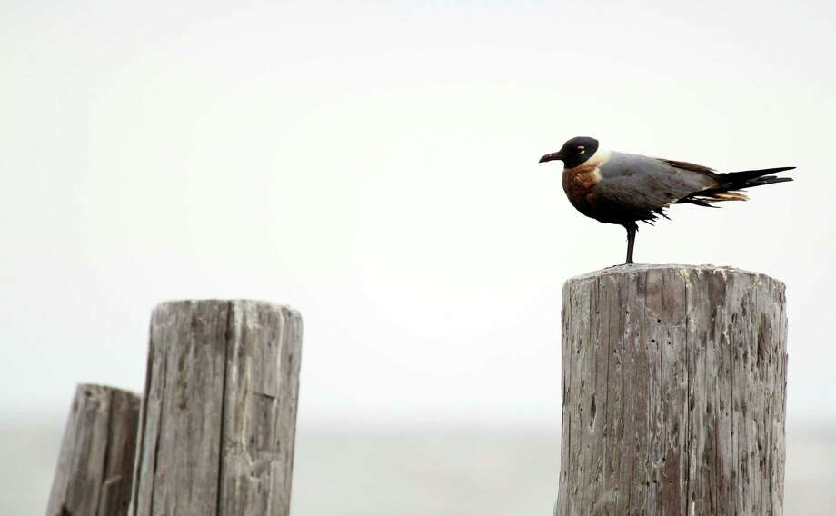 An oiled Laughing Gull sits on a post at the Bolivar Flats Shorebird Sanctuary Monday, March 24, 2014 in Bolivar. The bird will ingest oil as it preens its feather. Photo: Melissa Phillip, Houston Chronicle / © 2014  Houston Chronicle