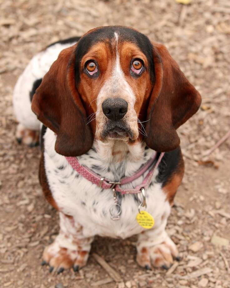 Donna Lim helps match basset hounds like Sofee with families through Golden Gate Basset Rescue. Photo: Rafael Banaag