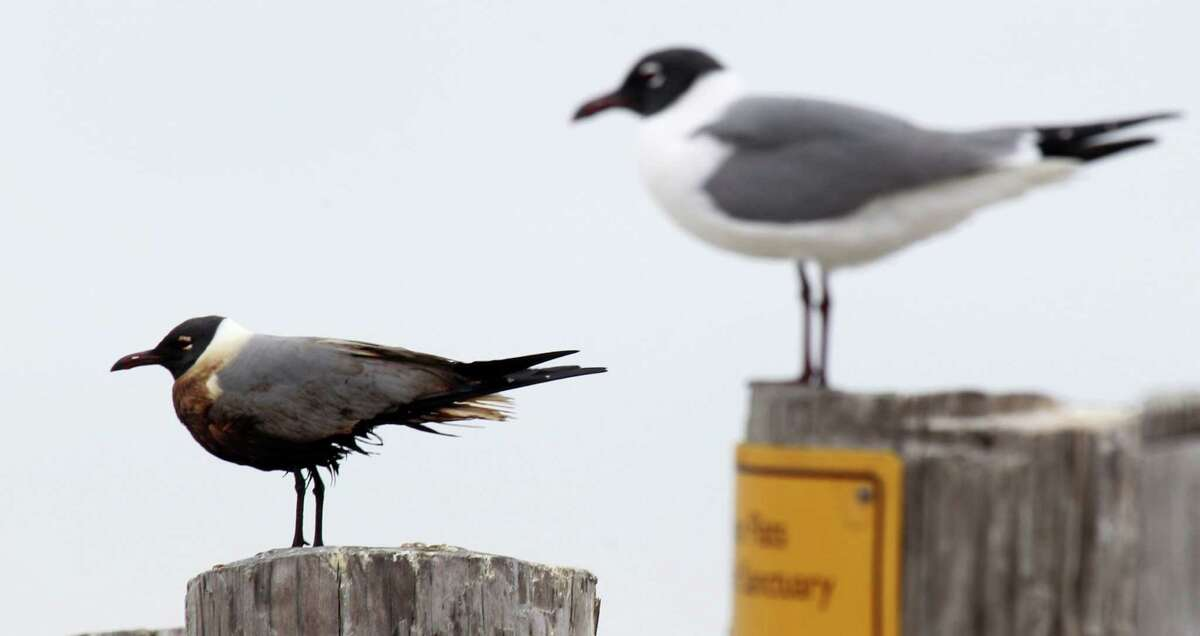 An oiled laughing gull perches next to a clean one at Bolivar Flats Shorebird Sanctuary. The bird will ingest oil as it preens its feather, threatening it.