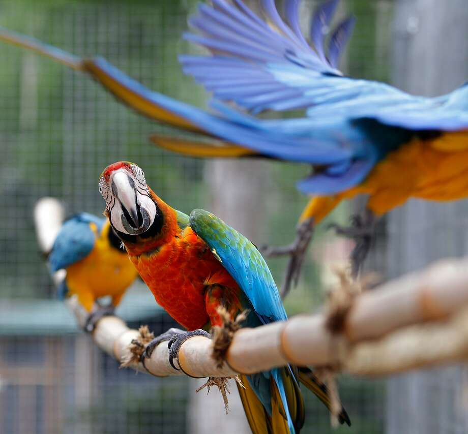 Colorful macaws inhabit a large open-flight aviary at The Florida Exotic Bird Sanctuary in Wesley Chapel, Fla., Monday March 24, 2014. The sanctuary does not breed, sell, trade, or offer for adoption the birds in its care.  (AP Photo/The Tampa Bay Times, Brendan Fitterer) Photo: Brendan Fitterer, Associated Press