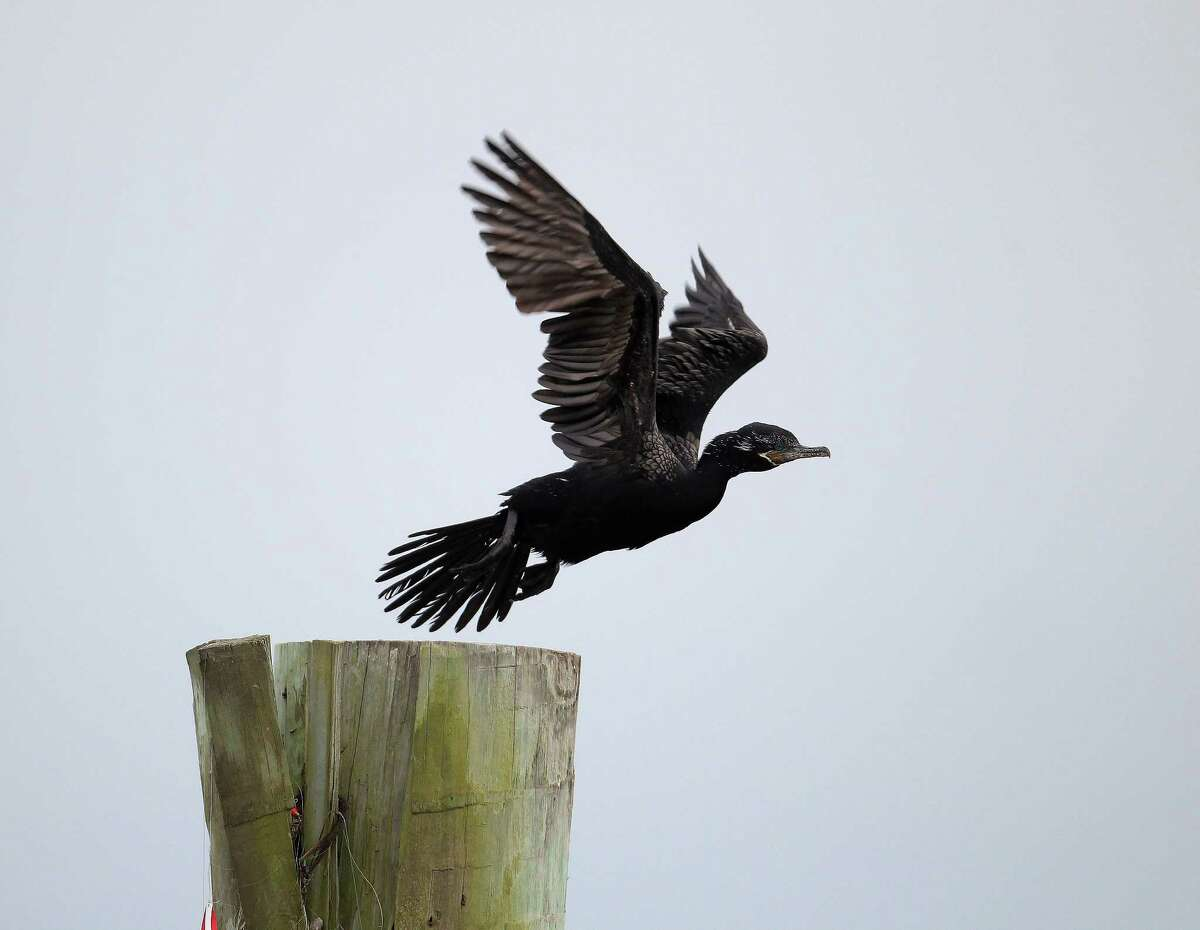 A black bird flies into the air off a post at the site of the wrecked barge that leaked fuel into the Houston Ship Channel on Saturday.