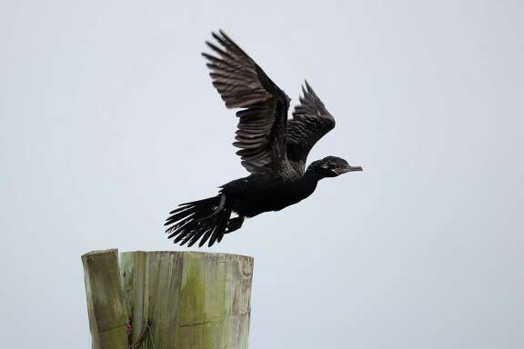 A black bird flies into the air off of a post at the site of the wrecked barge that leaked fuel into the Houston Ship Channel, Saturday, just off of the Texas City dike Monday, March 24, 2014, in Texas City.