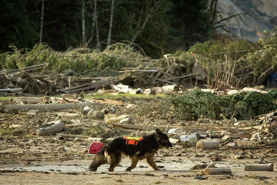 A rescue dog makes its way through mud in the debris field. Photo: JOSHUA TRUJILLO, SEATTLEPI.COM / SEATTLEPI.COM