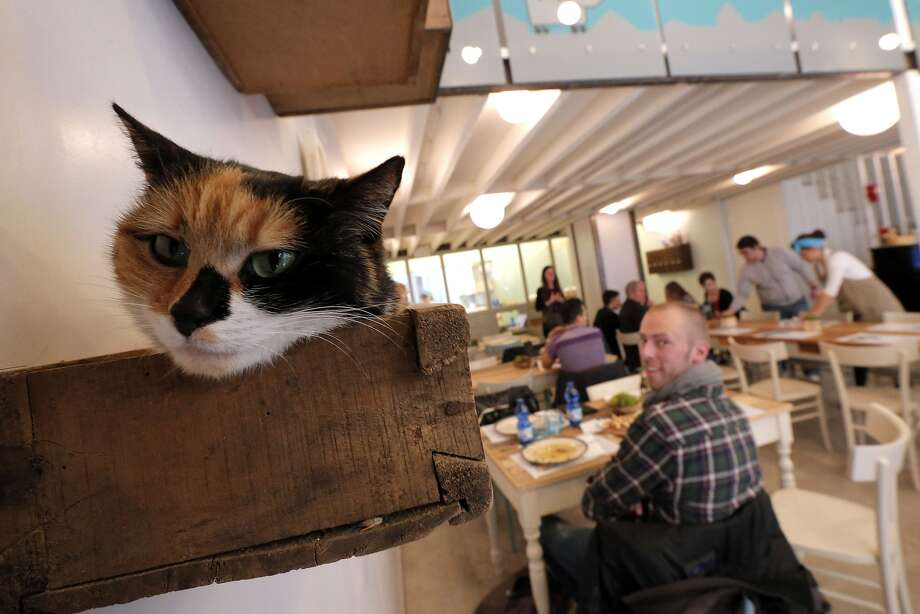"""Waiter! What does a calico have to do to get a bowl of water around here?! Miagola Cafe   is a concept bar in Turin, Italy, """"where cats and human beings can have a drink and   relax,"""" says AFP photographer Marco Bertorello. Photo: Marco Bertorello, AFP/Getty Images"""
