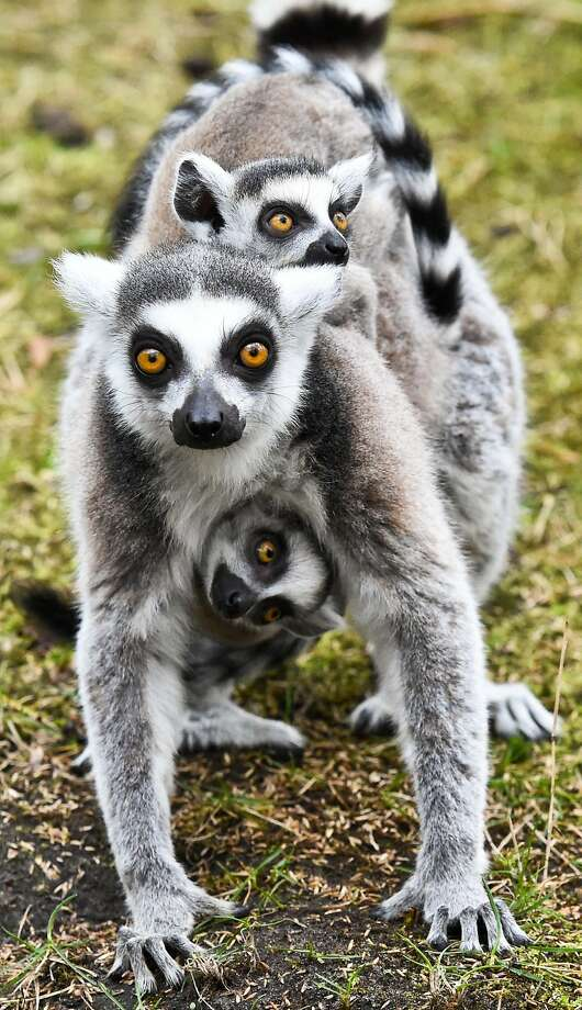 Everybody finish their cup of coffee? Then jump on:A wide-awake ring-tailed lemur and her alert twins go on an excursion at the zoo in Eberswalde Germany. Photo: Patrick Pleul, AFP/Getty Images