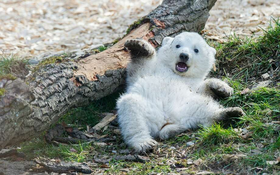Me and gravity just don't get along: A baby polar bear hits the turf at the 