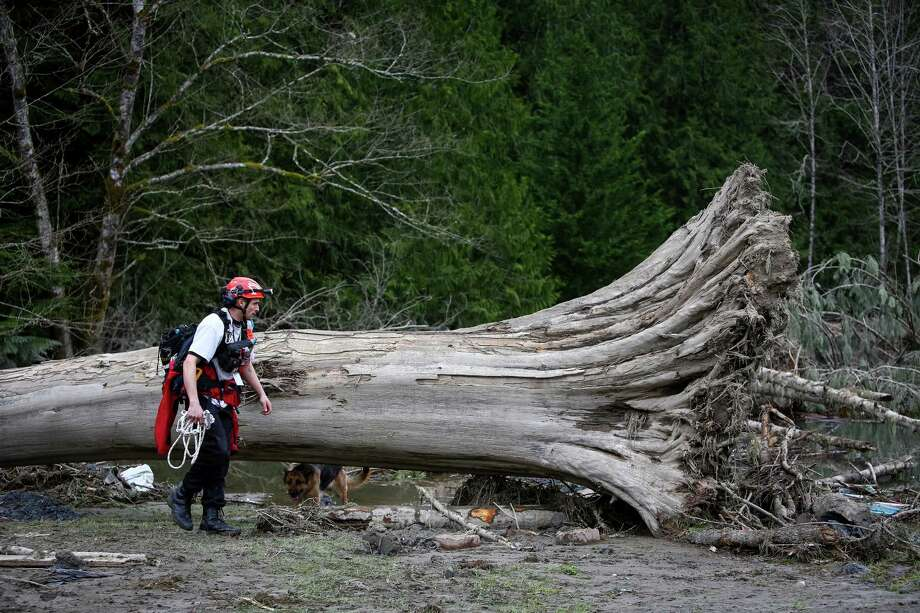 A rescue dog and his handler search for survivors or victims around an uprooted tree. Photo: JOSHUA TRUJILLO, SEATTLEPI.COM / SEATTLEPI.COM