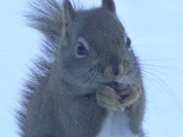Dee Way captures this little fellow having a little meal in Schenectady County's Mariaville Lake on March 18, its winter stores apparently not used up.  (Dee Way)