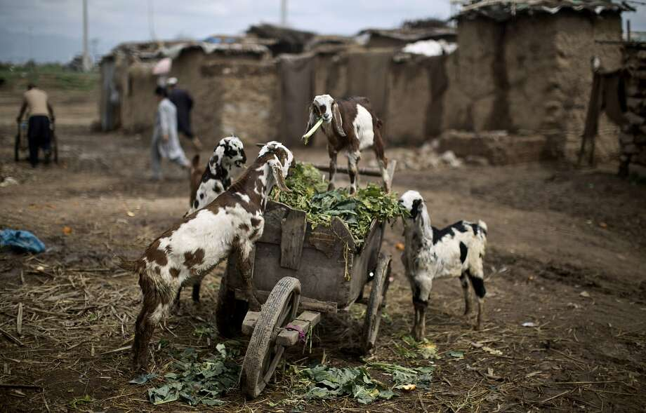 Goats eat vegetable leaves from a wooden cart belonging to a Pakistani man working in a wholesale fruit and vegetable market, in a poor neighborhood, on the outskirts of Islamabad, Pakistan, Tuesday, March 25, 2014. (AP Photo/Muhammed Muheisen) Photo: Muhammed Muheisen, Associated Press