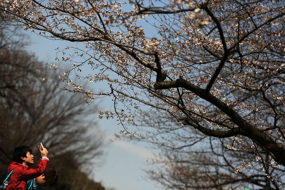 A visitor photographs the cherry blossom which begins blooming at Ueno Park in Tokyo, Tuesday, March 25, 2014. Tens of thousands of admirers will be expected to show up at the park to enjoy the white pink blossoms. (AP Photo/Eugene Hoshiko) Photo: Eugene Hoshiko, Associated Press