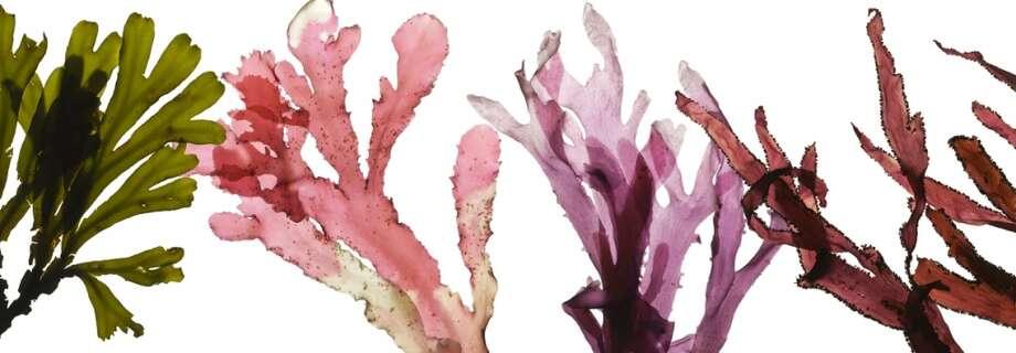"""From """"An Ocean Garden: the Secret Life of Seaweed"""" by Josie Iselin."""