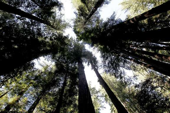 Giant redwoods reach to the sky, on Wednesday Nov. 14, 2012,  along the Peters Creek Loop trail, in La Honda, Calif. where the Save the Redwoods League has agreed to purchase a parcel near the Peters Creek old-growth forest and establish a conservation easement on Boulder Creek Forest, a total of 359 acres of redwood forests in the heart of the Santa Cruz Mountains. The problem is, they have to raise $2 million for a down payment on the $8 million total price by the end of the year.