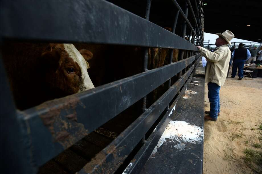 Ronnie Murrell looks, Friday, into a trailer full of cattle while planing out routes for each bovine to take through a maze of metal fencing to reach to its target pin. Over the weekend, ranchers will unload around 500 cows into the arena in preparation for auction at the South Texas State Fair. Photo taken Friday, March 14, 2014 Guiseppe Barranco/@spotnewsshooter