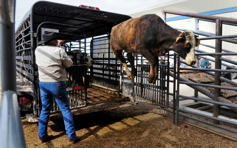 Roland Blanchard watches a cow catch air while unloading a trailer at the livestock arena at Ford Park on Friday. Over the weekend, ranchers will unload around 500 cows into the arena in preparation for auction at the South Texas State Fair. Photo taken Friday, March 14, 2014 Guiseppe Barranco/@spotnewsshooter