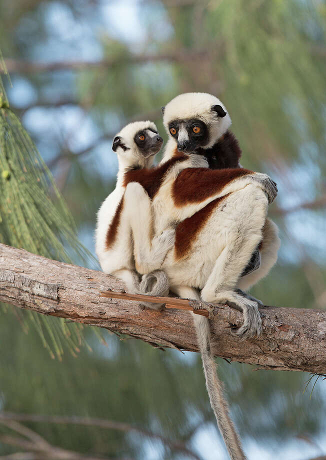 """Island of Lemurs: Madagascar"" takes moviegoers to the Ranomafana National Park, a 160 square mile wildlife preserve on the island, the only place in the world where lemurs can be found. Catch a showing of the film at the Maritime Aquarium in Norwalk. Click here for showtimes. Photo: Contributed Photo / Connecticut Post Contributed"