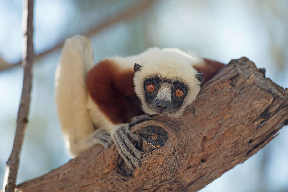 "Check out the 3D IMAX film ""Island of Lemurs: Madagascar"" at the Maritime Aquarium at Norwalk. Click here for showtimes.  Photo: Contributed Photo / Connecticut Post Contributed"