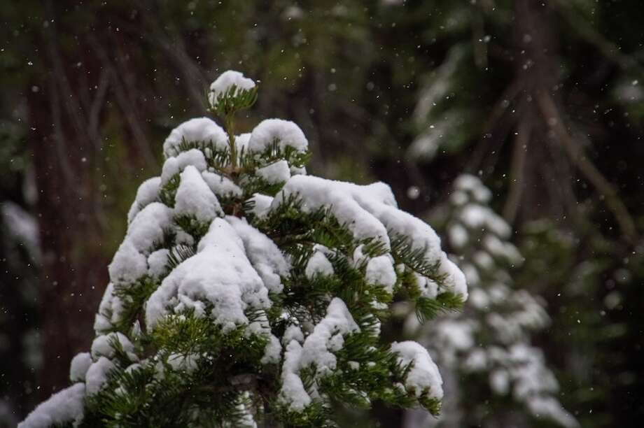 Squaw: snow falling on firs Photo:  JT Chevallier