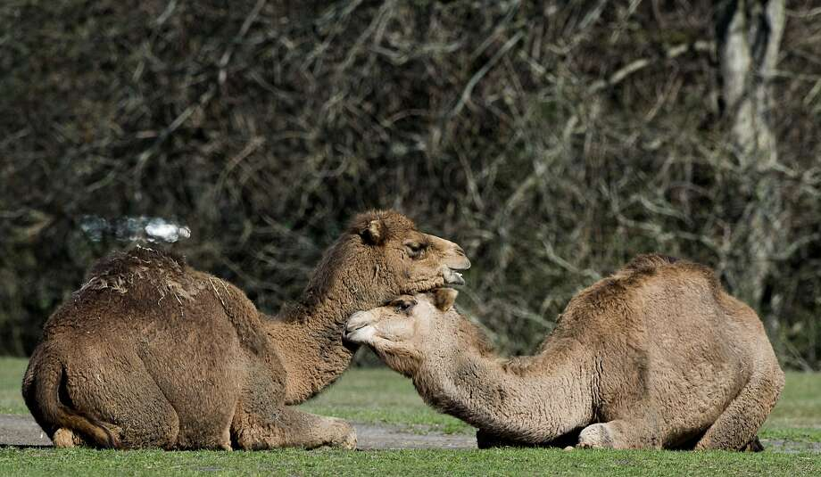 Dear dromedary:Camels nuzzle in the sun at Berlin's Tierpark Zoo. Photo: John MacDougall, AFP/Getty Images
