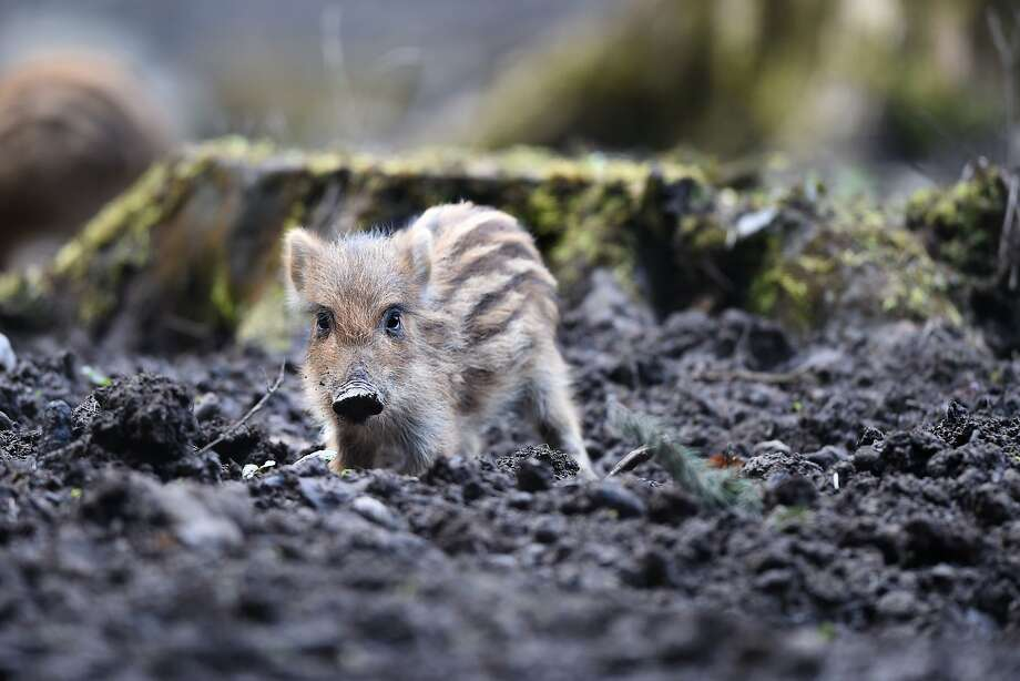Pig Teuton:A wild boar piglet, only a few days old, roots around for something edible at a   game reserve near Ravensburg, Germany. Photo: Felix Kaestle, AFP/Getty Images
