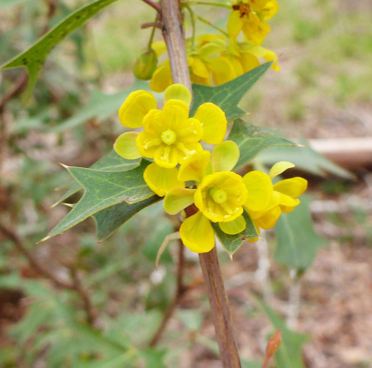 Native agarita shrubs are among the earliest blooming plants across Texas.
