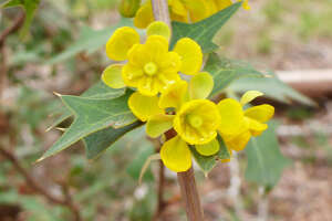 Native agarita shrubs are among the earliest blooming plants across Texas.