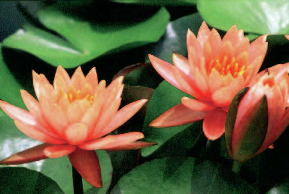 During the warm season, 250-300 water lilies lift blooming heads above the water-single shades and combinations of white, yellow, pink, blue and purple under the hot San Angelo sky.