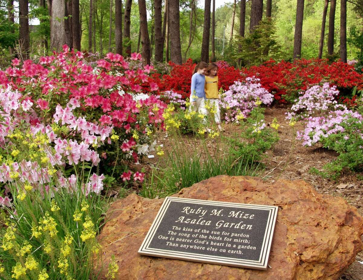 In the Ruby M. Mize Azalea Garden on the grounds of Stephen F. Austin State University, thousands of azaleas bloom in spring.
