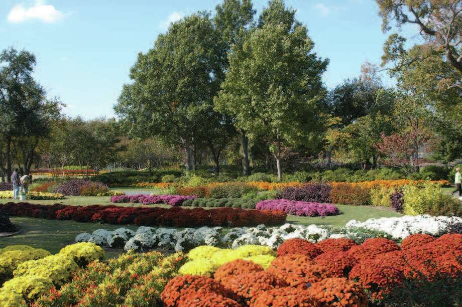 Rows of blooming chrysanthemums bring fall color to the Dallas Arboretum and Botanical Garden. Photo: Courtesy Photo, Dallas Arboretum And Botanical Garden