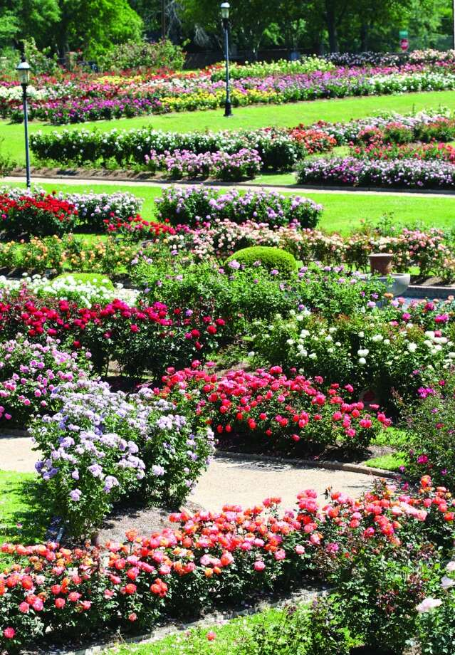 More than 30,000 bushes of roses bloom in the Tyler Rose Garden. Photo: Jan Thompson, City Of Tyler