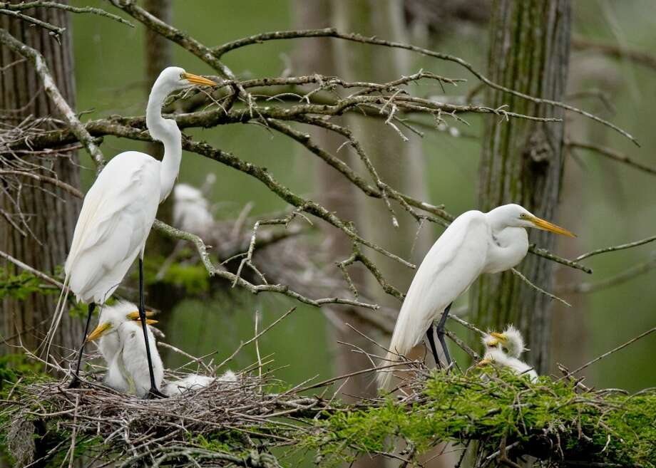 During the spring birding season, visitors to Shangri La Botantical Gardens in Orange may visit a bird blind and heronry to see about 17 species of nesting birds, including the Great Egret. Photo: Will France, Shangi La Botanical Gardens