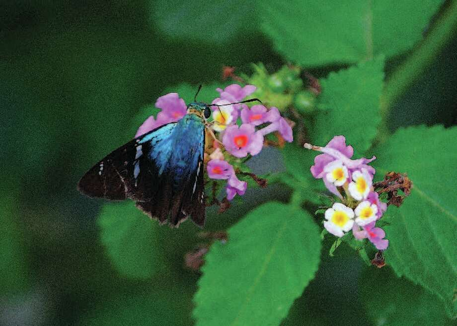 A Two-barred Flasher butterfly feeds on the nectar of West Indian Lantana. Photo: Courtesy Photo, National Butterfly Center