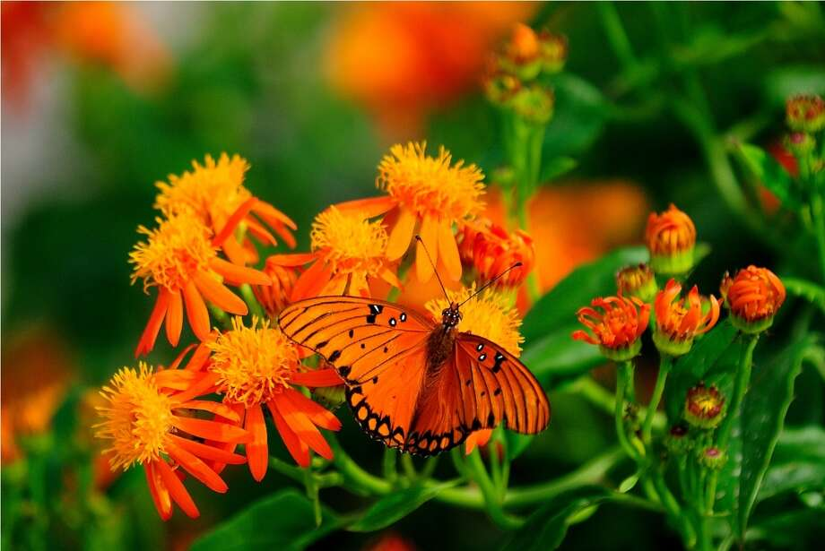 A Gulf Fritillary butterfly rests on a Mexican flame flower in the gardens of the National Butterfly Center in Mission. Photo: Courtesy Photo, National Butterfly Center