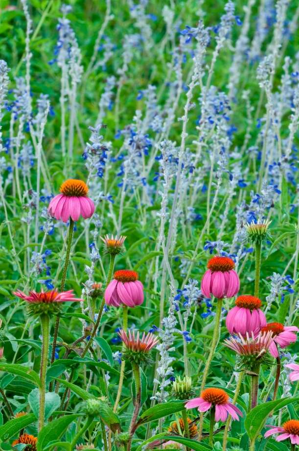 Purple coneflower (in front) and mealy blue sage in the gardens at the Lady Bird Johnson Wildflower Center. The center's cultivated gardens and meadows showcase more than 600 species of native Texas plants. Photo: Courtesy Photo, Lady Bird Johnson Wildflower Center