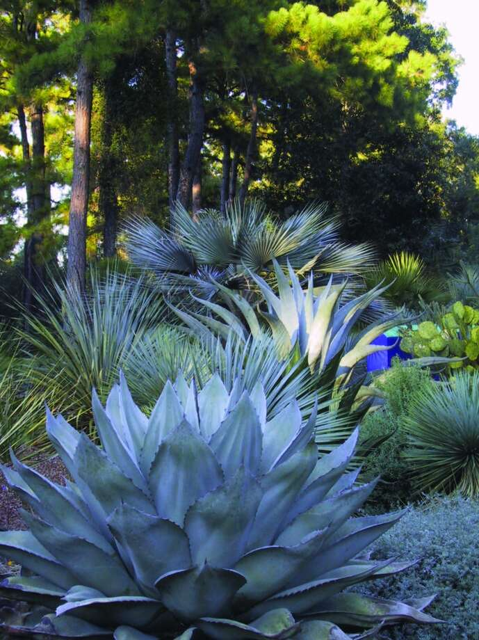 Peckerwood Garden in Hempstead is known for a collection of agaves, cactus and yucca. Photo: John McCormick, Peckerwood Garden