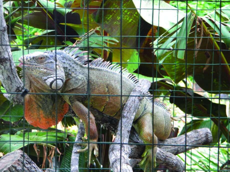 "The South Texas Botanical Gardens in Corpus Christi has a reptile collection including Ivan ""The Terrible"" Iguana. Photo: Michael Womack, South Texas Botanical Gardens"