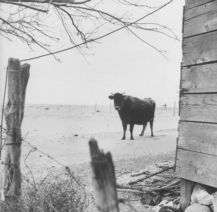 Steer on drought-stricken farm.  (Photo by Joseph Scherschel//Time Life Pictures/Getty Images) Photo: Joseph Scherschel, Time & Life Pictures/Getty Image / Time Life Pictures