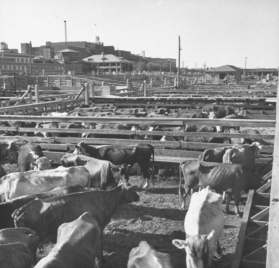 Lean cattle in Texas stockyard during the drought.  (Photo by John Dominis//Time Life Pictures/Getty Images) Photo: John Dominis, Time & Life Pictures/Getty Image / Time Life Pictures