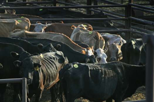 "Cattle are held in a pen after being sold the previous day at the Abilene Livestock Auction July 27, 2011 in Abilene, Texas. A severe drought in the region has caused shortages of grass, hay and water forcing ranchers to thin their herds. The Abilene Livestock Auction has been selling at least two to three times the number of cattle each week compared to last year.  The past nine months have been the driest in Texas since record keeping began in 1895, with 75% of the state classified as ""exceptional drought"", the highest classification.  (Photo by Scott Olson/Getty Images) Photo: Scott Olson, Getty Images"