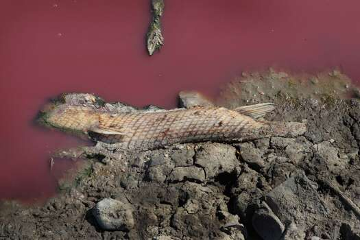 The carcass of an alligator gar rests along the shore at the edge of a small pool of red sludge-like water at the base of the dam at O.C. Fisher Lake on July 25, 2011 in San Angelo, Texas. The pool is the last water remaining in the 5,440 acre lake which was established to provide flood control and serve as a secondary drinking water source for San Angelo and the surrounding communities following an extended drought in the region. The lake which has a maximum depth of 58 feet is also used for boating, fishing and swimming. The San Angelo area has seen only 2.5 inches of rain this year. The past nine months have been the driest in Texas since record keeping began in 1895, with 75% of the state classified as exceptional drought, the worst level.  (Photo by Scott Olson/Getty Images) Photo: Scott Olson, Getty Images