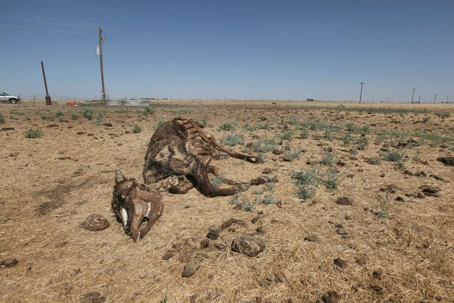 The remains of a cow lay near a watering point in a pasture July 28, 2011 near Tulia, Texas. A severe drought in the region has caused shortages of grass, hay and water, forcing ranchers to thin their herds or risk losing their cattle to the drought. The past nine months have been the driest in Texas since record keeping began in 1895, with 75% of the state classified as exceptional drought, the worst level.  (Photo by Scott Olson/Getty Images) Photo: Scott Olson, Getty Images