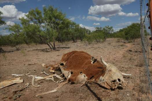 The remains of a decomposing cow lies in a pasture July 25, 2011 on a ranch near San Angelo, Texas. A severe drought in the region has caused shortages of grass, hay and water forcing ranchers to thin their herds or risk losing their cattle to the drought. The San Angelo area has seen only 2.5 inches of rain this year. The past nine months have been the driest in Texas since record keeping began in 1895, with 75% of the state classified as exceptional drought, the worst level.  (Photo by Scott Olson/Getty Images) Photo: Scott Olson, Getty Images