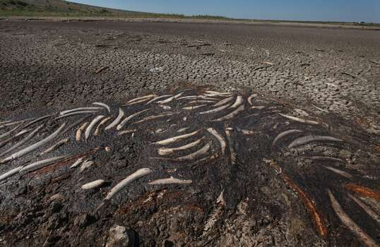 Dead fish sit in some of the last remnants of mud on bed of O.C. Fisher Lake on July 25, 2011 in San Angelo, Texas. The 5,440 acre lake which was established to provide flood control and serve as a secondary drinking water source for San Angelo and the surrounding communities is now dry following an extended drought in the region. The lake which has a maximum depth of 58 feet is also used for boating, fishing and swimming. The San Angelo area has seen only 2.5 inches of rain this year. The past nine months have been the driest in Texas since record keeping began in 1895, with 75% of the state classified as exceptional drought, the worst level.  (Photo by Scott Olson/Getty Images) Photo: Scott Olson, Getty Images