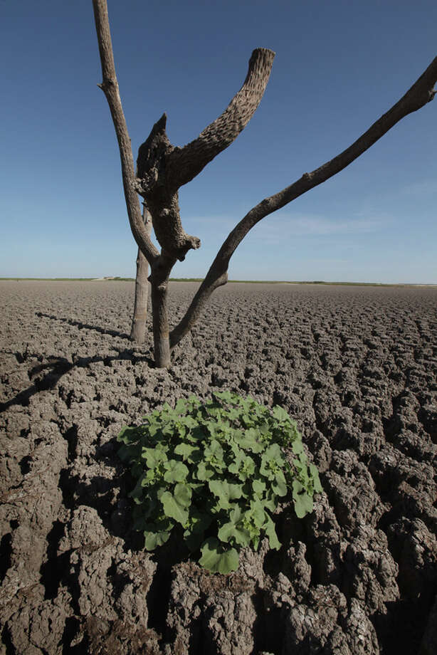 A weed grows out of the dry cracked bed of O.C. Fisher Lake on July 25, 2011 in San Angelo, Texas. The 5,440 acre lake which was established to provide flood control and serve as a secondary drinking water source for San Angelo and the surrounding communities is now dry following an extended drought in the region. The lake which has a maximum depth of 58 feet is also used for boating, fishing and swimming. The San Angelo area has seen only 2.5 inches of rain this year. The past nine months have been the driest in Texas since record keeping began in 1895, with 75% of the state classified as exceptional drought, the worst level.  (Photo by Scott Olson/Getty Images) Photo: Scott Olson, Getty Images / 2011 Getty Images