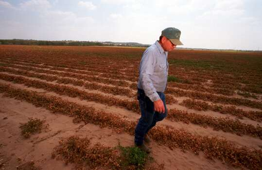 Glen Armstrong walks in a field of dead peanut plants September 7, 2000 in Dublin, Texas where a drought has made his crop unharvestable. Armstrong said he has lived his whole life in Dublin and has never seen conditions as bad as they are now. The farmers across Texas are in dire straits as the state enters its 68th consecutive day without rain. The cracking soil is hard as a rock and unfit for planting in most areas. (Photo by Joe Raedle/Newsmakers) Photo: Joe Raedle, Getty Images