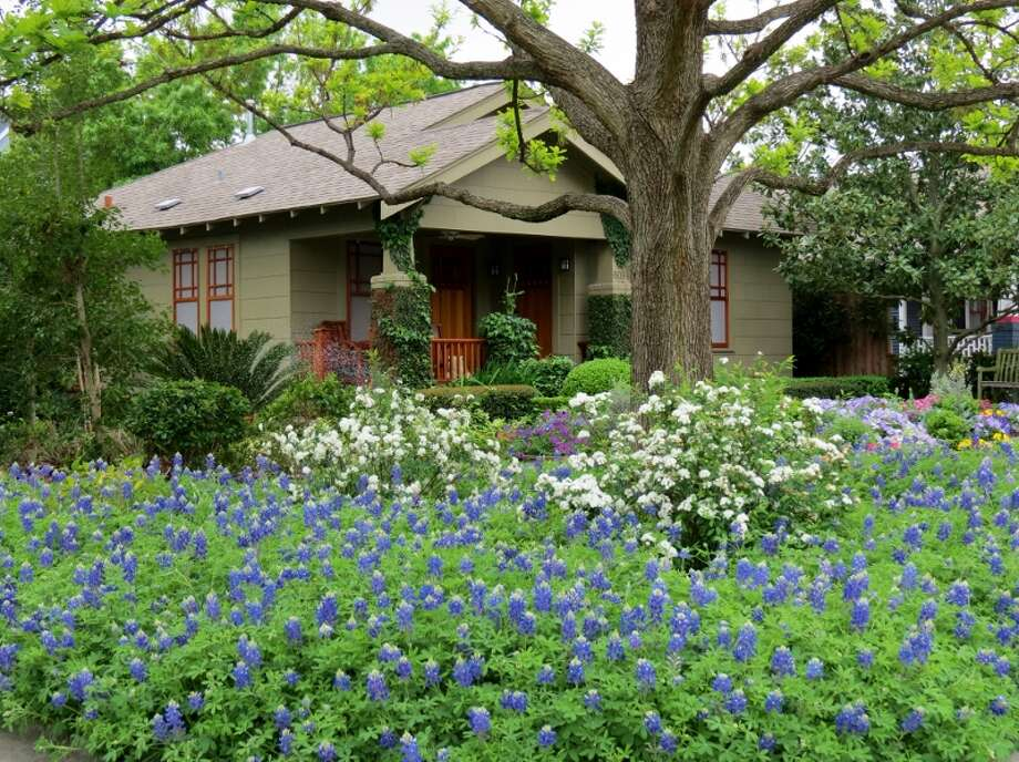 David Morello has sown his own bluebonnet heaven in his front garden.