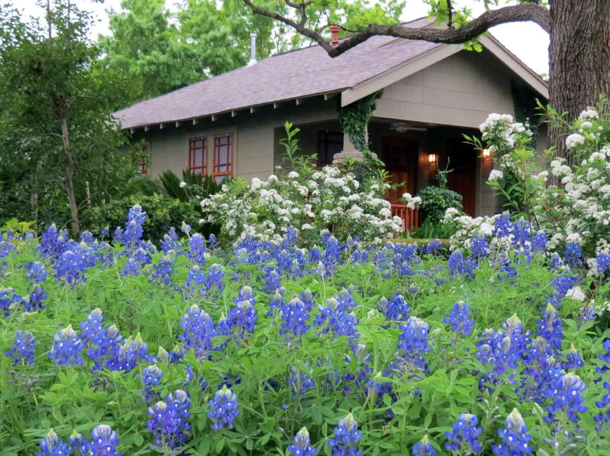 David Morello has sown his own bluebonnet heaven in his front garden. David Morello Garden Enterprises photo