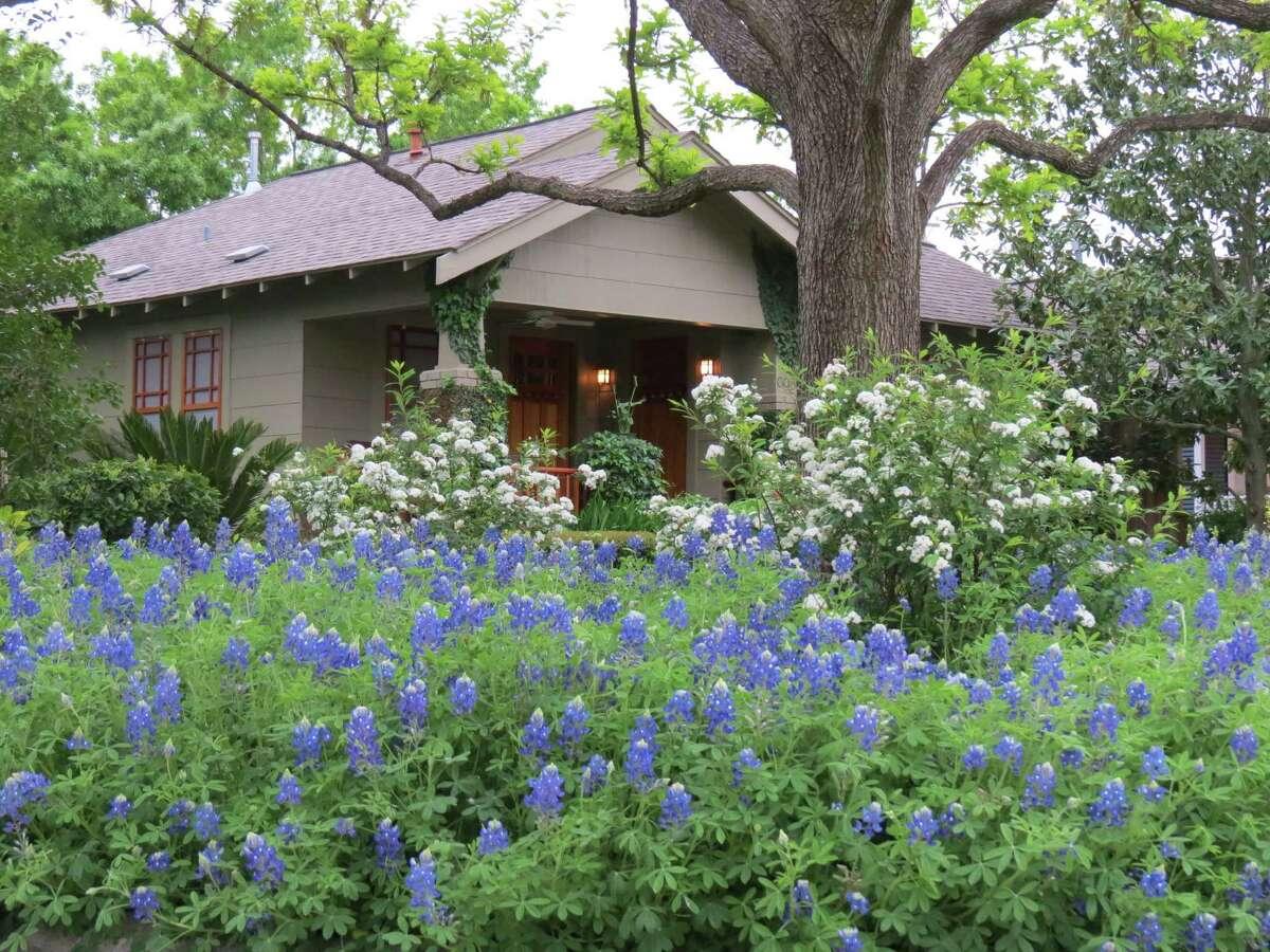 Gardener David Morello has sown his own bluebonnet heaven in his front garden.
