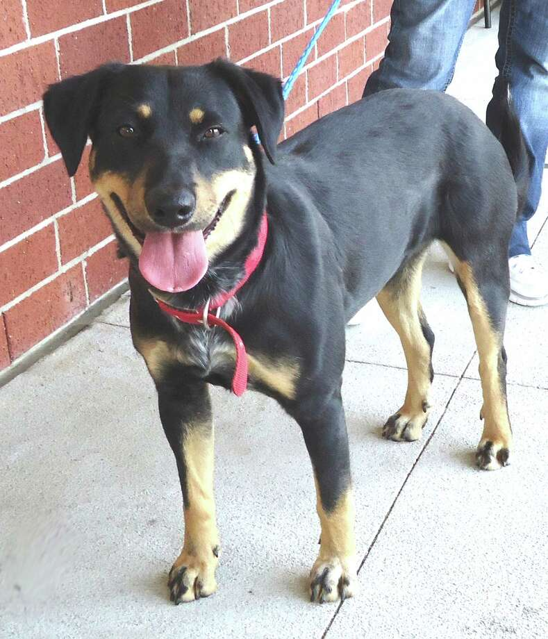 is Rosie, a 10 month old Rottweiler mix girlfriend.  She was a stray, but she came in with a beautiful collar with a 3D Rosette on the top.  So we know Rosie has some people out there that really love her because she s been well cared for and she s healthy.  Hopefully her family will see her in your column and come to CAP.  Otherwise she ll have some new people to love her and give her a new good home.